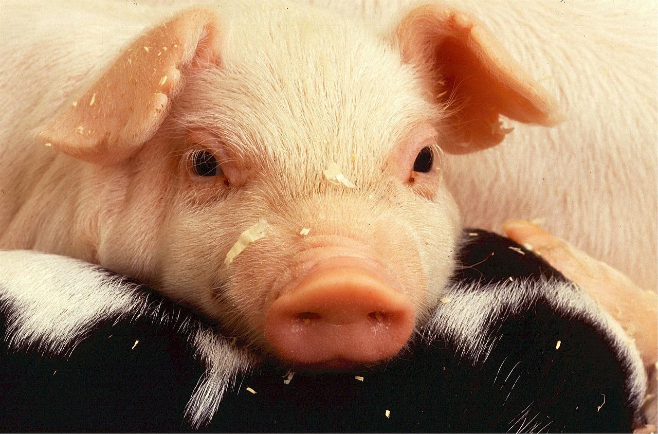 Poumons artificiels: Tests prometteurs sur des cochons