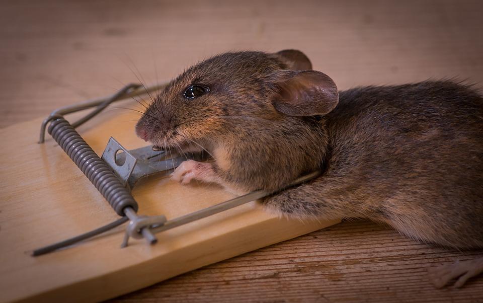 Vous pouvez reconnaître une infestation de rats par ceci